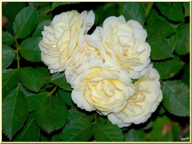 Roses jaune pâle à Saint Rémy de Provence, Alpilles (13) à Saint Rémy de Provence, Alpilles (13)