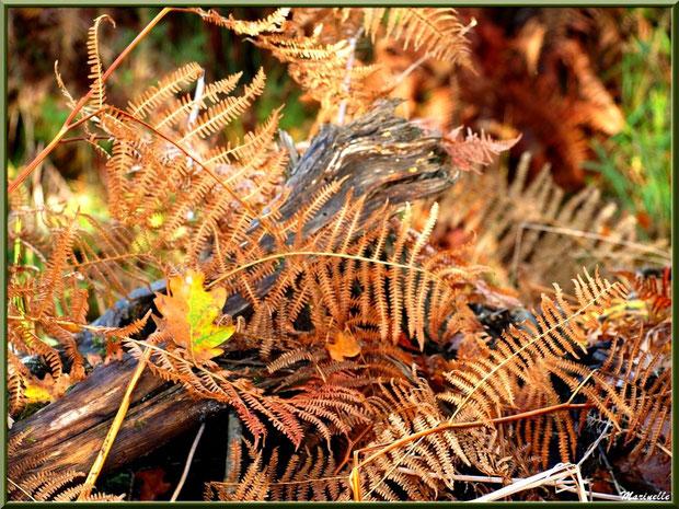 Fougères automnales sur tronc d'arbre mort et feuilles de chênes, en forêt sur le Bassin d'Arcachon (33)