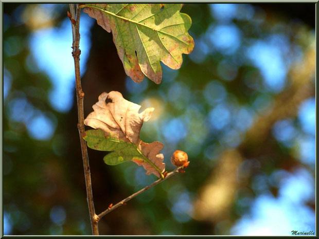 Petite branche de chêne avec feuilles automnales et boule (Galle du Chêne), forêt sur le Bassin d'Arcachon (33)