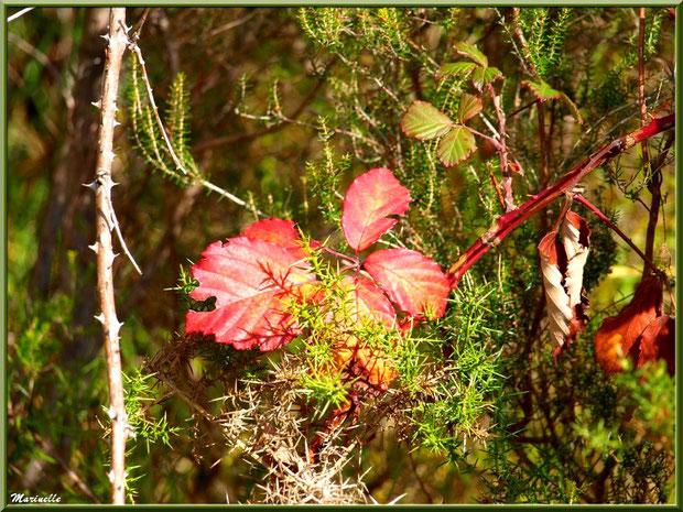 Méli mélo forestier : branche de roncier automnal, ajoncs et bruyère, forêts sur le Bassin d'Arcachon (33)