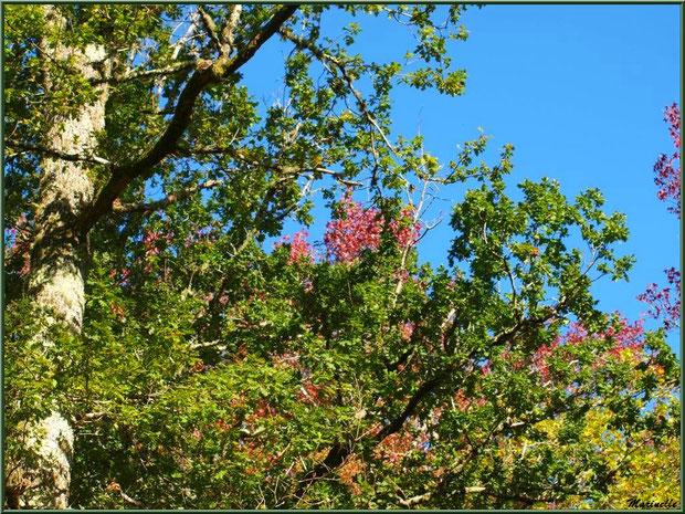 Chênes et Liquidambars (ou Copalmes d'Amérique) en période automnale, forêt sur le Bassin d'Arcachon (33)