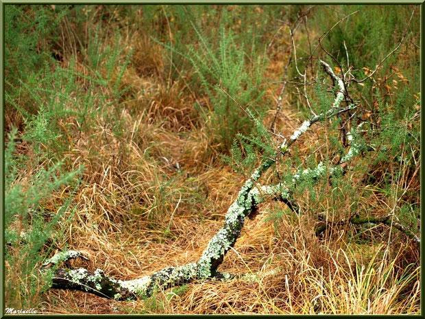 Branche de chêne morte au sol, forêt sur le Bassin d'Arcachon (33)
