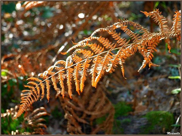 Fougère automnale au soleil en forêt sur le Bassin d'Arcachon (33)