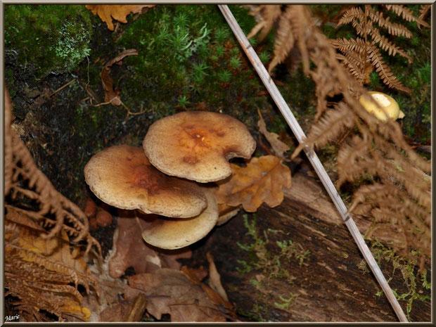 Hypholomes en Touffe entre mousse, fougères et feuilles de chêne en forêt sur le Bassin d'Arcachon