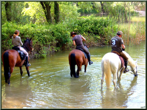 Chevaux venant se désaltérer au lac de Peiroou à Saint Rémy de Provence, Alpilles (13)