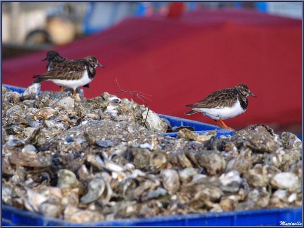 Tournepierres sur coquilles d'huîtres (dans un des ports ostréicoles de Gujan-Mestras, Bassin d'Arcachon)