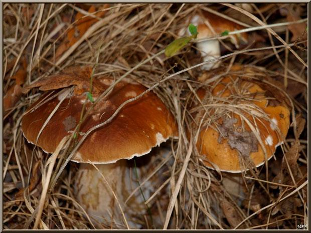 Cèpes de Bordeaux ou Bolets, bien cachés, en forêt sur le Bassin d'Arcachon