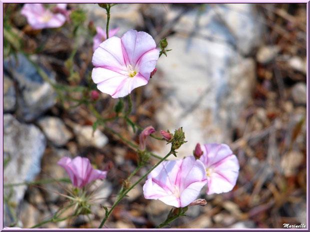 Liserons en fleur, flore Bassin d'Arcachon (33)
