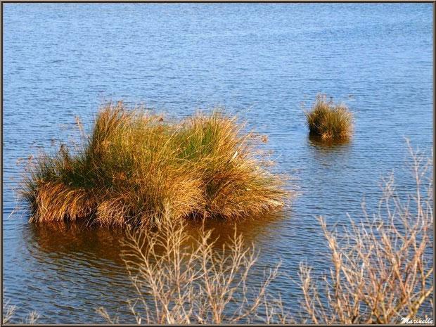 Poufs végétal et cotonnier hivernal en bordure d'un réservoir, Sentier du Littoral, secteur Domaine de Certes et Graveyron, Bassin d'Arcachon (33)