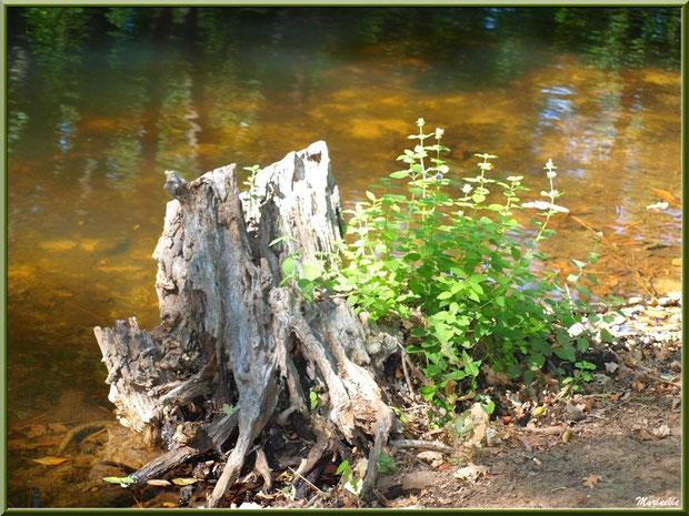 Menthe sauvage au pied d'une souche en bordure du Canal des Landes au Parc de la Chêneraie à Gujan-Mestras (Bassin d'Arcachon)
