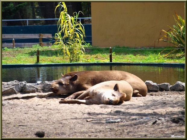 Tapirs, Zoo du Bassin d'Arcachon, La Teste de Buch (33)