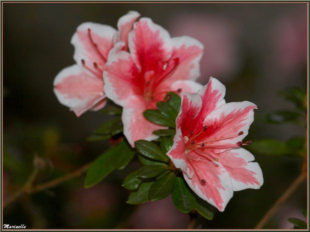 Azalée rose et blanche au jardin