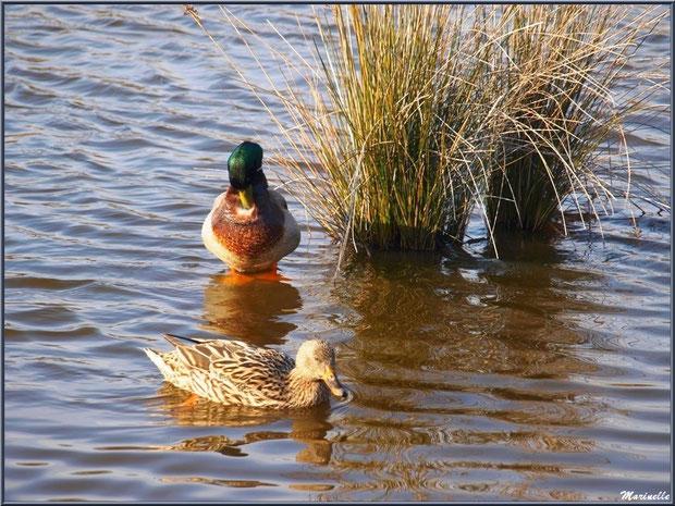 Couple de canards dans un réservoir, Sentier du Littoral, secteur Domaine de Certes et Graveyron, Bassin d'Arcachon (33)