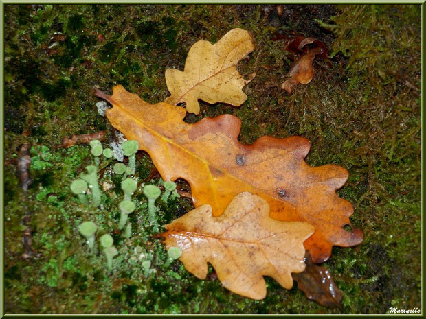 Feuilles de chêne automnales sur tapis de mousse et lichen Cladonie fimbriée, forêt sur le Bassin d'Arcachon (33)
