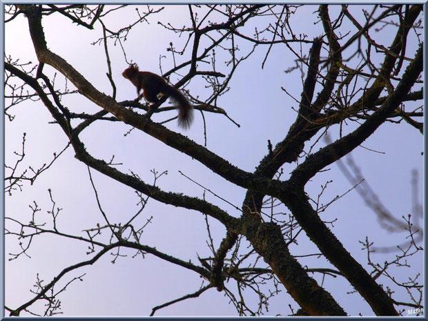 En fin d'après -midi hivernale, écureuil dans un chêne au Parc de la Chêneraie à Gujan-Mestras (Bassin d'Arcachon)