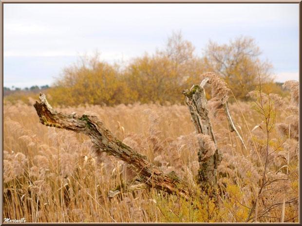 Branches mortes de chêne au coeur des roseaux et tamaris, Sentier du Littoral, secteur Port du Teich en longeant La Leyre, Le Teich, Bassin d'Arcachon (33)