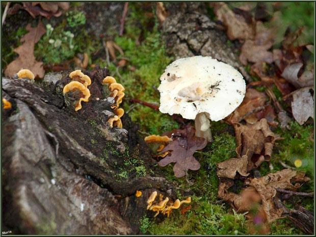Stérée et Clitocybe Blanc ou des Résineux en forêt sur le Bassin d'Arcacho