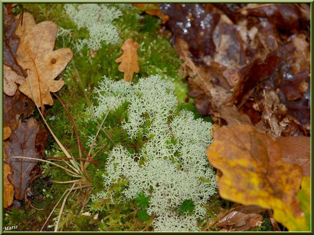 Cladonie parmi la mousse et feuilles de chêne en forêt du Bassin d'Arcachon