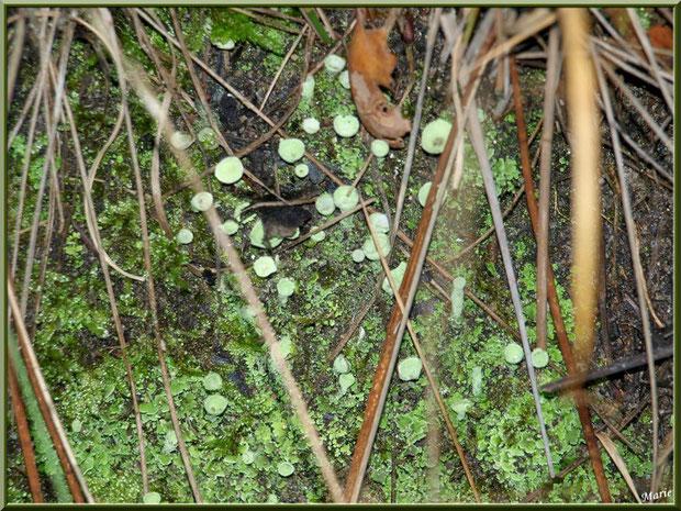 Cladonie Fimbriée cachée en forêt du Bassin d'Arcachon