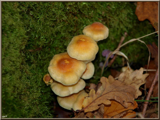 Hypholomes en Touffe entre mousse et feuilles de chênes en forêt sur le Bassin d'Arcachon
