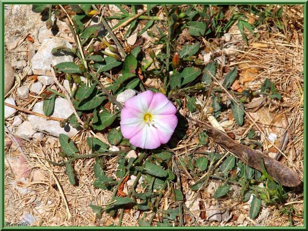 Liseron parmi pierres et herbes sur le chemin menant à l'abbaye de Silvacane, Vallée de la Basse Durance (13)