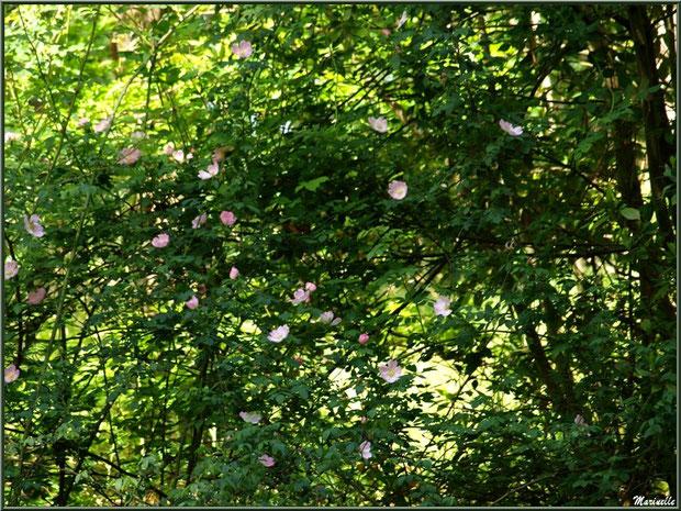 Rosier sauvage en fleur en bordure du Canal des Landes au Parc de la Chêneraie à Gujan-Mestras (Bassin d'Arcachon)
