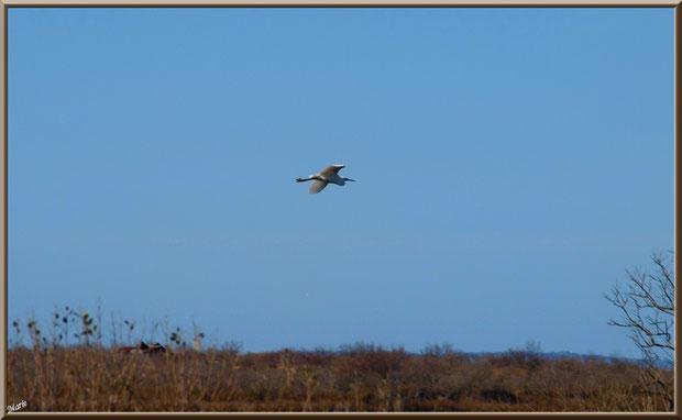 Aigrette en vol au-dessus des marais sur le Sentier du Littoral, secteur Moulin de Cantarrane, Bassin d'Arcachon