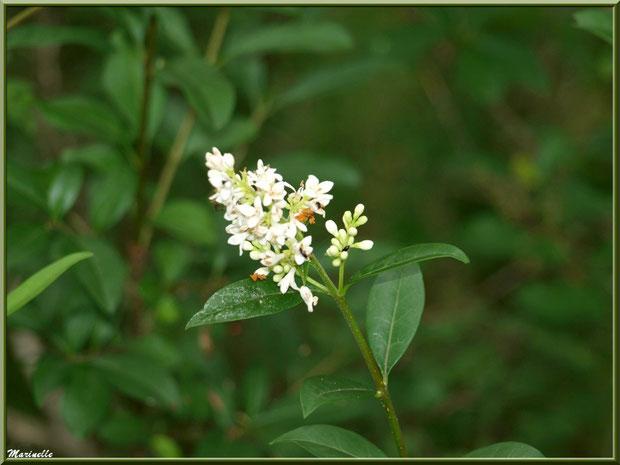 Troène Commun en fleur, flore sur le Bassin d'Arcachon (33)