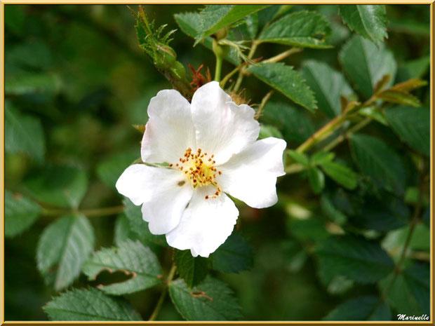 Eglantier en fleurs, en chemin vers à la source miraculeurse de l'Ermitage Saint Gens, village de Le Beaucet, Lubéron (84)