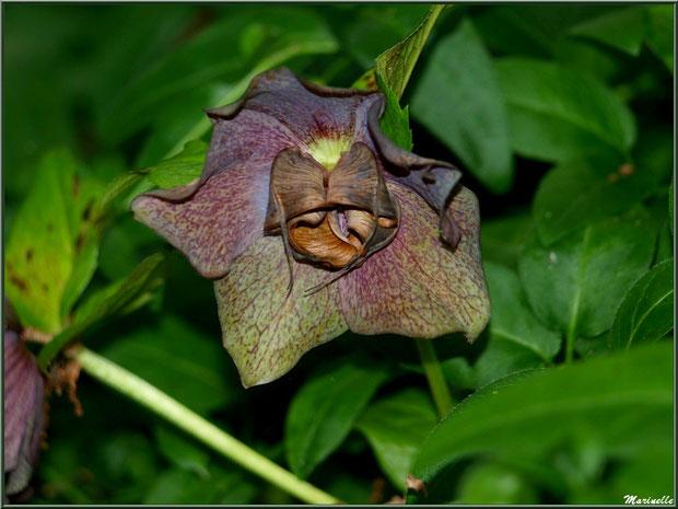 Le sentier de la Vallée du Bas : Helleborus orientalis 'Blue Lady' ou Hellébore pourpre - Les Jardins du Kerdalo à Trédarzec, Côtes d'Armor (22)