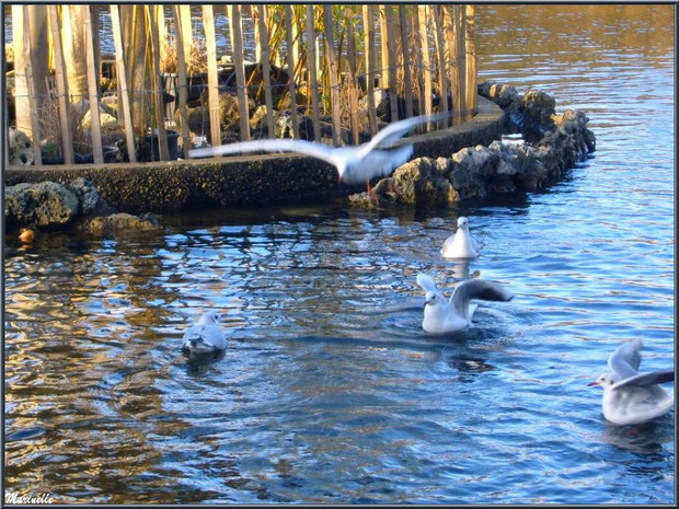 Mouettes dans le bassin à l'entrée du Parc de la Chêneraie à Gujan-Mestras (Bassin d'Arcachon)