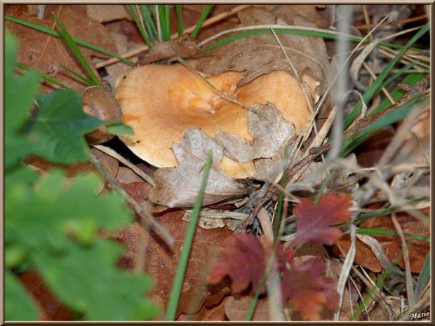 Lactaire Sanguin, bien caché dans son décor automnal, en forêt sur le Bassin d'Arcachon