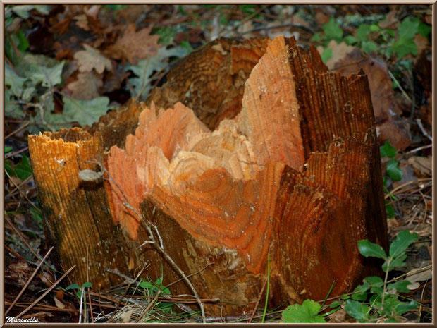 Socle d'un tronc d'arbre décapité après une tempête, forêt sur le Bassin d'Arcachon (33)