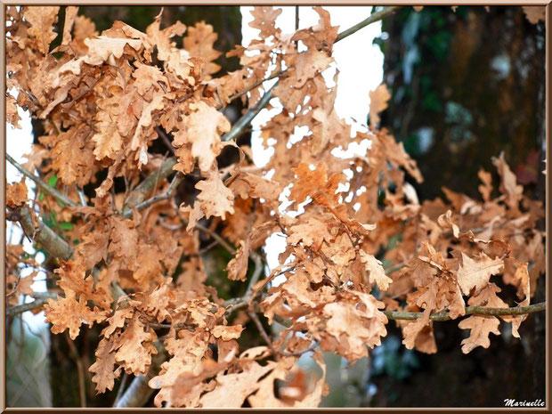 Branche de chêne à l'entrée de l'hiver, forêt sur le Bassin d'Arcachon (33)