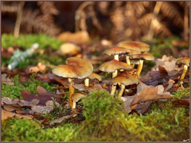 Hypholomes en Touffe  entre mousse et feuilles de chêne en forêt sur le Bassin d'Arcachon