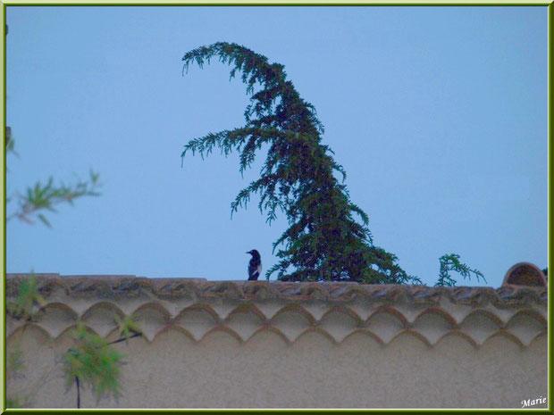 Pie sur un mur à Saint Rémy de Provence, Alpilles (13)