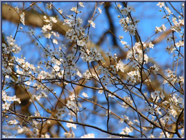Arbrisseau et ses fleurs printanières, sur le sentier bordant La Leyre, Sentier du Littoral au lieu-dit Lamothe, Le Teich, Bassin d'Arcachon (33)