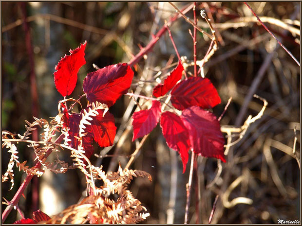 Roncier automnal au soleil sur une branche de fougère, forêt sur le Bassin d'Arcachon (33)