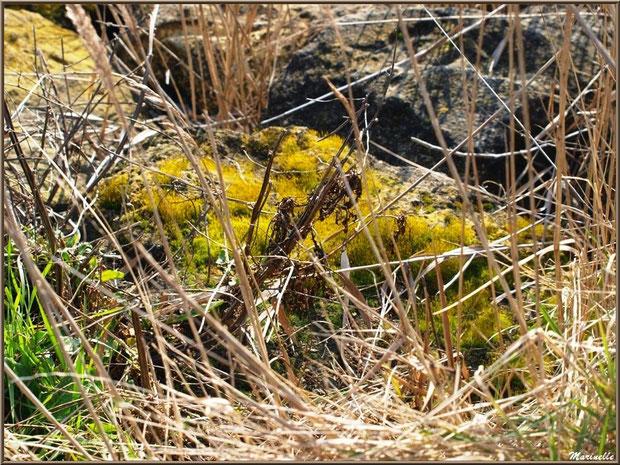 Mousse et herbacées, Sentier du Littoral, secteur Domaine de Certes et Graveyron, Bassin d'Arcachon (33)