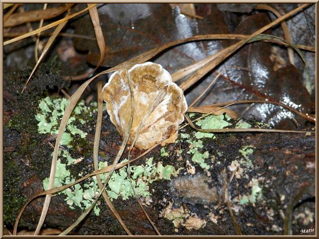 Polypore Versicolore ou Polypore à couleur variable, tel un coquillage, en forêt sur le Bassin d'Arcachon