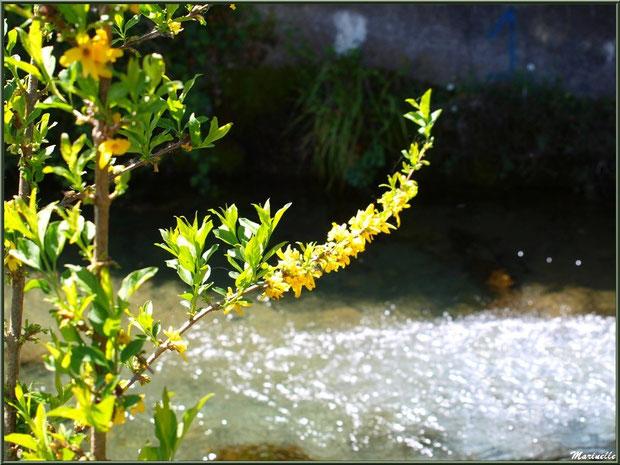 Forsythia en fleurs en bordure d'un ruisseau à la Pisciculture des Sources à Laruns, Vallée d'Ossau (64)