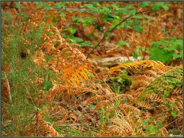 Méli mélo forestier automnal : ajoncs, fougères et ronciers, forêt sur le Bassin d'Arcachon (33)