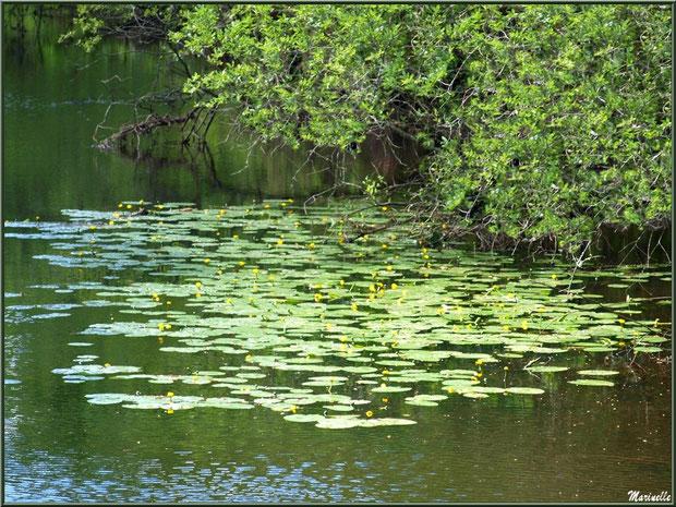Nénuphars jaunes sur le Canal des Landes au Parc de la Chêneraie à Gujan-Mestras (Bassin d'Arcachon)