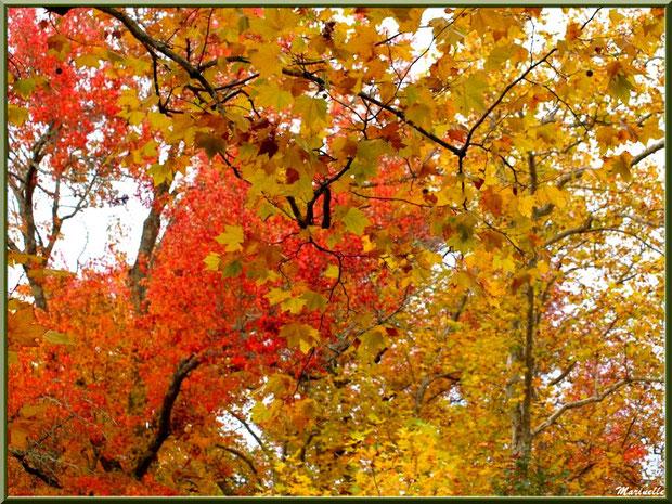 Sous-bois : Chênes, Platanes et Liquidambar (ou Copalme d'Amérique) aux couleurs automnales, forêt sur le Bassin d'Arcachon (33)
