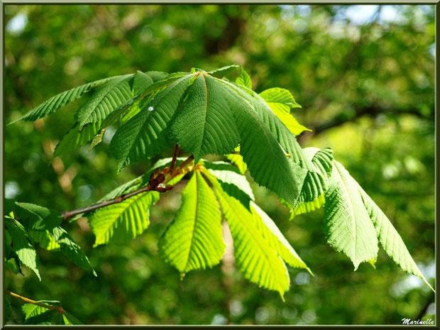 C'est le printemps, le Marronnier d'Inde ou Marronnier Commun déploie ses feuilles palmées, flore Bassin d'Arcachon (33)