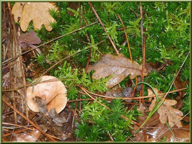 Lactaire Odorant en forêt sur le Bassin d'Arcachon