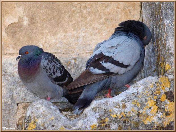 Couple de pigeons nichés dans un creux de pierres murales