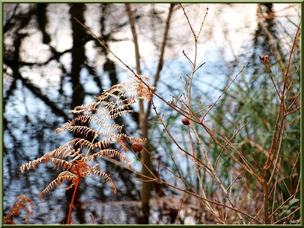 Fougères hivernales, boules de chêne, herbacées et reflets sur le Canal au Parc de la Chêneraie à Gujan-Mestras (Bassin d'Arcachon)