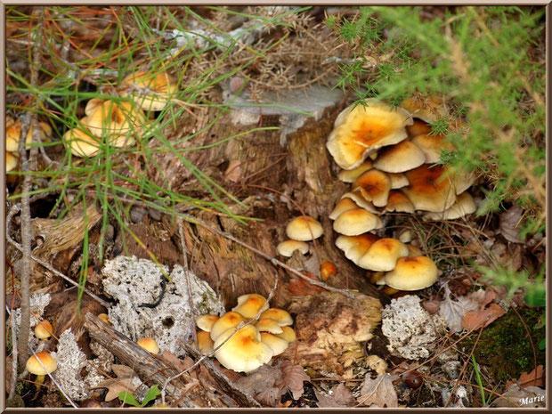 Hypholomes en Touffe autour d'une souche de pin sous les ajoncs en forêt sur le Bassin d'Arcachon