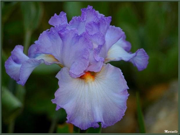 Iris bleu pâle au jardin